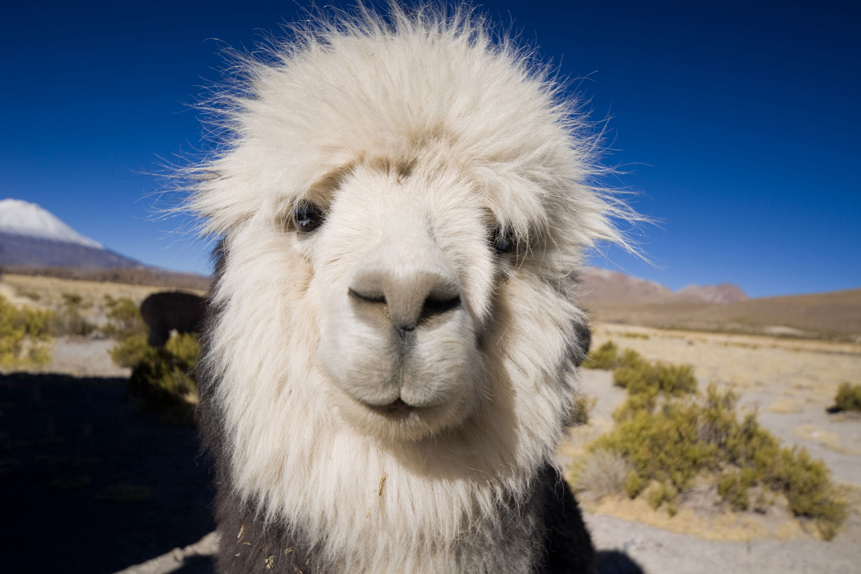 CHILE_Neugieriges_Alpaca